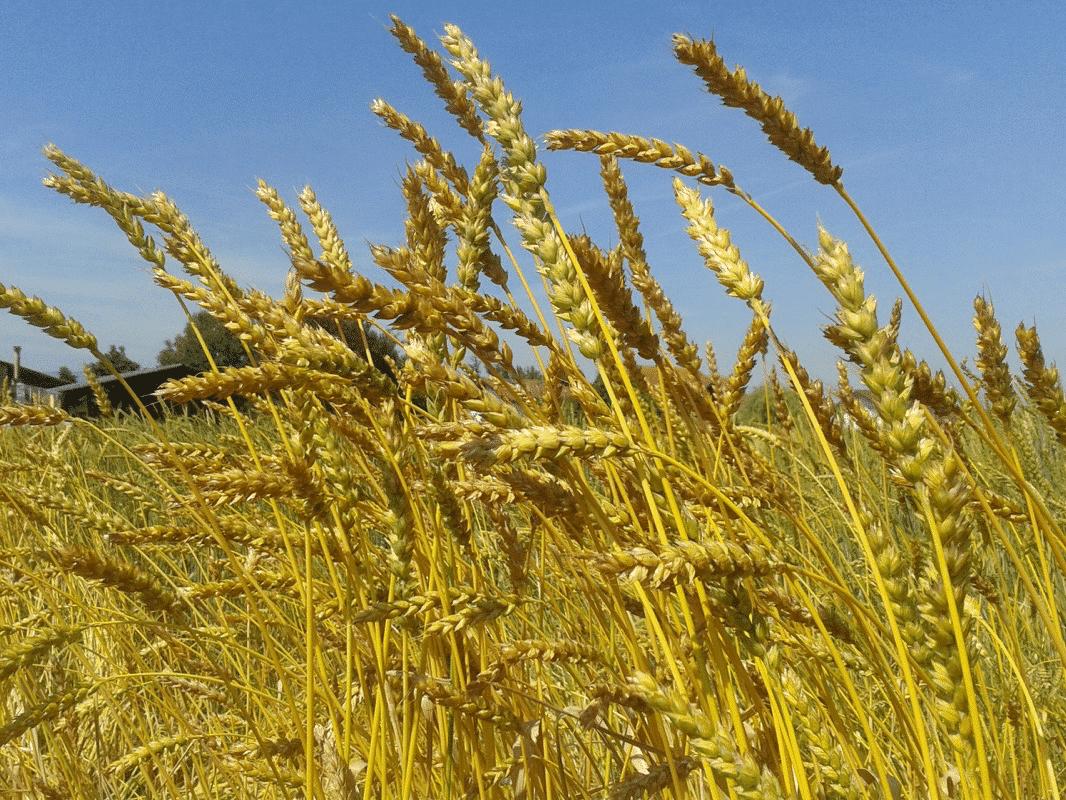 Mélange de blés anciens